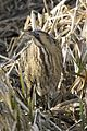 Bittern in River Lee Country Park.JPG