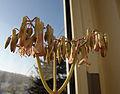 Blütenstamm einer Bryophyllum.jpg