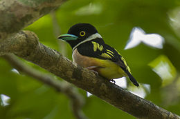 Black-and-Yellow Broadbill - Thailand H8O6740.jpg