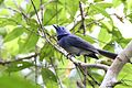 Black-naped monarch (Hypothymis azurea) of Pelawan Forest, Namang Village, Bangka Island, Indonesia.jpg