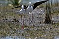 Black-winged Stilt (31535449191).jpg