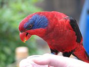 A red parrot with blue cheeks extending to the eyes, black eye-spots and wings