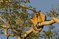 Black Howler, Pantanal.jpg