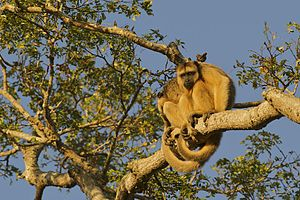 Black howler - Two females in a tree branch, using their strong prehensile tail as a safety fifth limb, in Pantanal, Bolivia