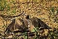 Black Kite in Sun Bath.jpg