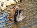 Black Swan-Mindaugas Urbonas-2.jpg