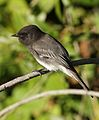 Black phoebe, Sayornis nigricans, along the Guadalupe River in Santa Clara, California, USA (30653910340).jpg