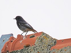 Black redstart in Serbia.jpg