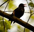 Blackbird singing (16662157623).jpg