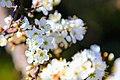 Blackthorn in blossom.jpg