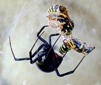 Z kim spotyka się pająk