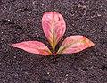 Bladeren van Nandina domestica Locatie, Tuinreservaat Jonkervallei 02.jpg