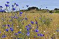 Blick (durch die Blumen) auf den Schafberg bei Mariendorf.jpg