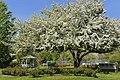 Bloom Tree - panoramio.jpg