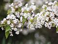 Blossom (9028995520).jpg