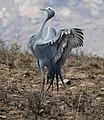 Blue Crane (Anthropoides paradiseus) parading (29416568593).jpg