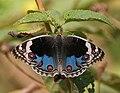 Blue Pansy (Junonia orithya) in Hyderabad, AP W IMG 1365.jpg