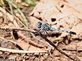 Blue Percher (Diplacodes trivialis) Male (21092553002).jpg