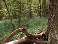 Bluebells in Ecclesall Woods - geograph.org.uk - 1860504.jpg