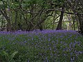 Bluebells near Hall Farm Farndale - geograph.org.uk - 180597.jpg
