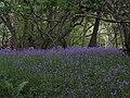 Bluebells near Hall Farm Farndale - geograph.org.uk - 180597.jpg