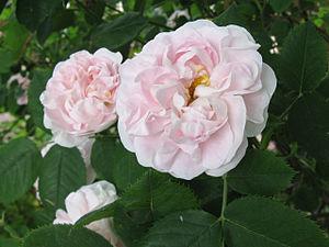 Rosa 'Great Maiden's Blush' - Image: Blush rose 1