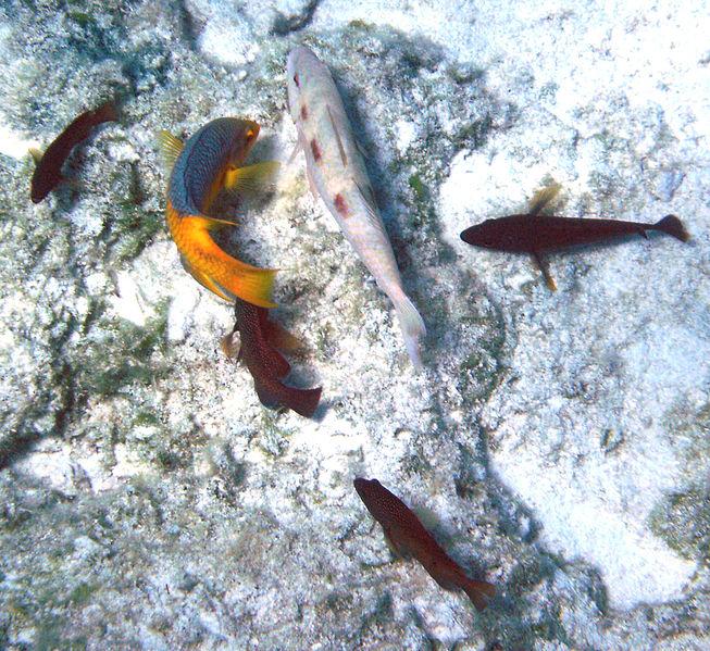 File:Bodianus rufus (Spanish hogfish) (San Salvador Island, Bahamas) 2 (16183429865).jpg