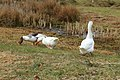 Boerengans (Anser anser forma domesticus) 02.JPG