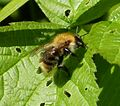 Bombus pascuorum - Flickr - gailhampshire (1).jpg