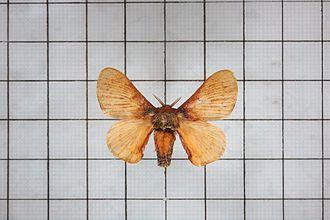 Bombyx rotundapex - Image: Bombyx rotundapex