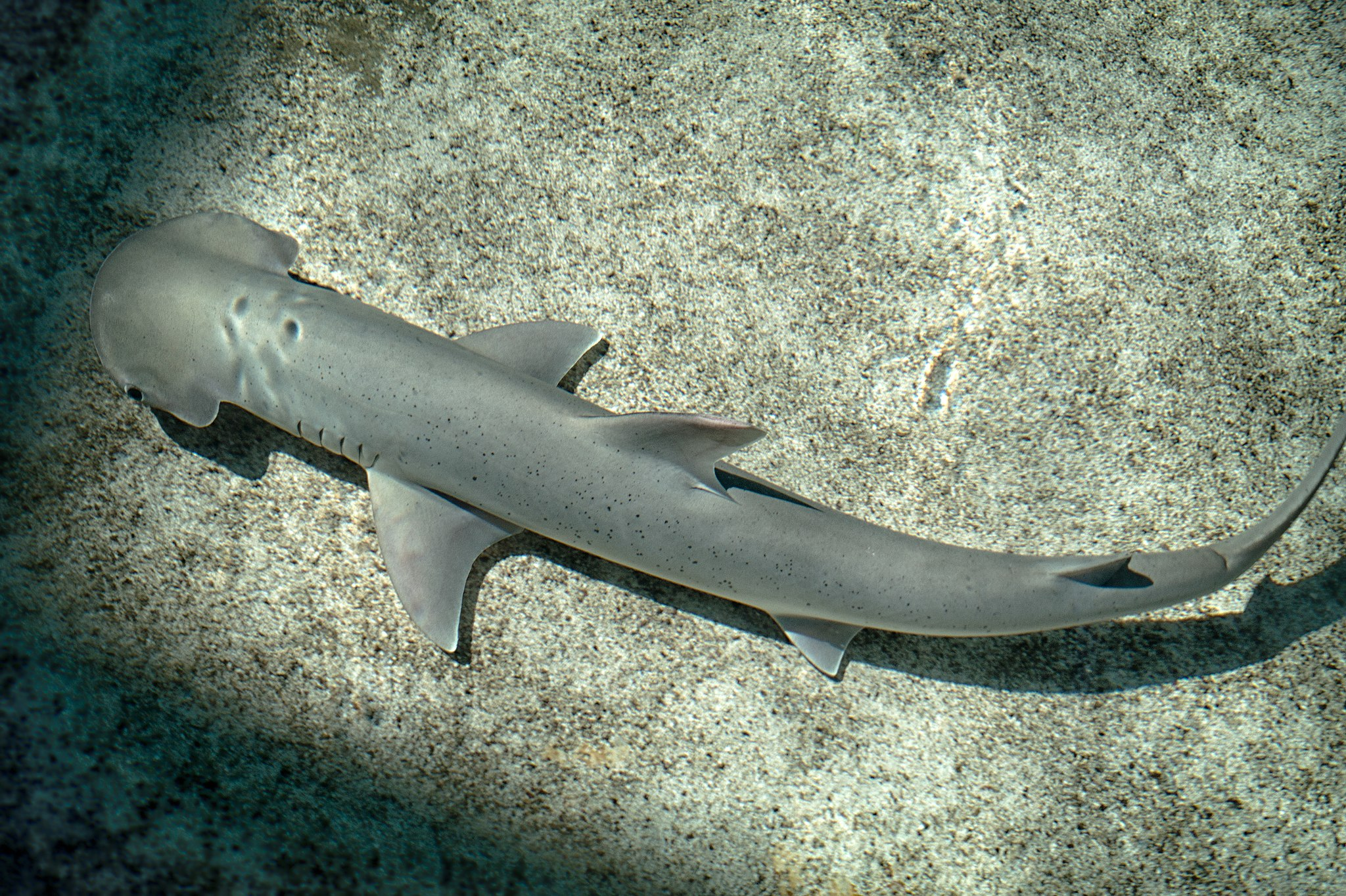 Bonnethead shark Aquarium of the Pacific