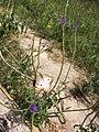 Borboleta sugando nectar , Parque Estadual do Cocó.jpg