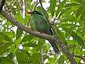 Bornean Green Magpie.jpg