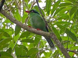 Bornean green magpie - At Kinabalu National Park, Sabah, Malaysia