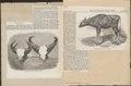 Bos gaurus - 1859 - Print - Iconographia Zoologica - Special Collections University of Amsterdam - UBA01 IZ21200167.tif