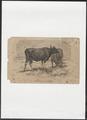 Bos sondaicus - 1700-1880 - Print - Iconographia Zoologica - Special Collections University of Amsterdam - UBA01 IZ21200065.tif