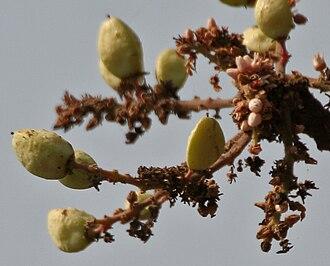 Boswellia serrata - in Kinnerasani Wildlife Sanctuary, Andhra Pradesh, India.
