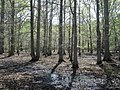 Bottomland hardwood forest.jpg
