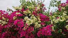 Bougainvillea in Behbahan