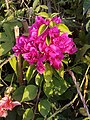 Bougainvillea in Pune.jpg