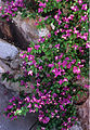 Bougainvillea in Tucson AZ.jpg