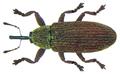 Brachonyx pineti (Paykull, 1792) (8154761081).png