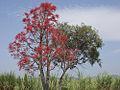 Brachychiton Acerifolius-Tree1.jpg