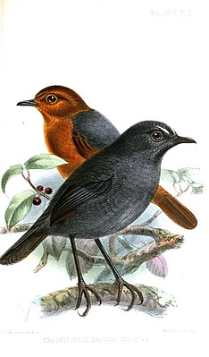 BrachypteryxErythrogynaKeulemans.jpg