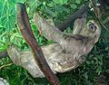 Bradypus tridactylus.jpg