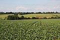 Brassica crop - geograph.org.uk - 1355350.jpg