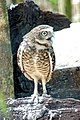Brazil-01648 -Striped Owl (48994727148).jpg