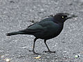 Brewer's Blackbird male RWD2.jpg
