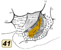 Brodmann area 41 inside lateral sulcus.png