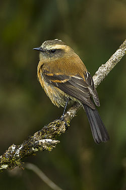 Brown-backed Chat-Tyrant - Colombia S4E1525.jpg
